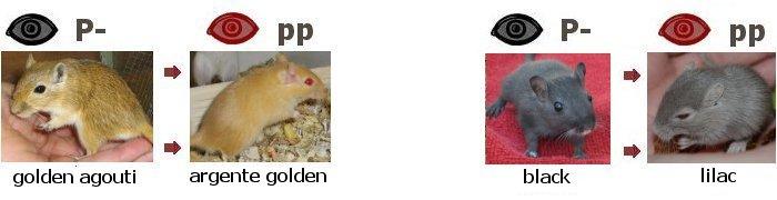 golden agouti para argente ouro, preto para lilás